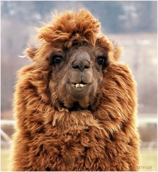 hilarious-alpaca-hairstyles-10